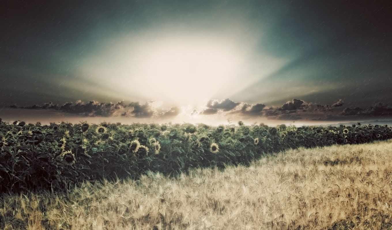 подсолнухи, поле, солнце, лучи, дождь, картинка,