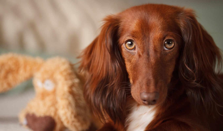 hintergrundbilder, brown, ohren, lange, hund, best, fondos, orelhas, longas, perro, cão, marrom, largas, orejas, marrón, fonds, ecran, игрушка, parede, papéis, собака, морда,