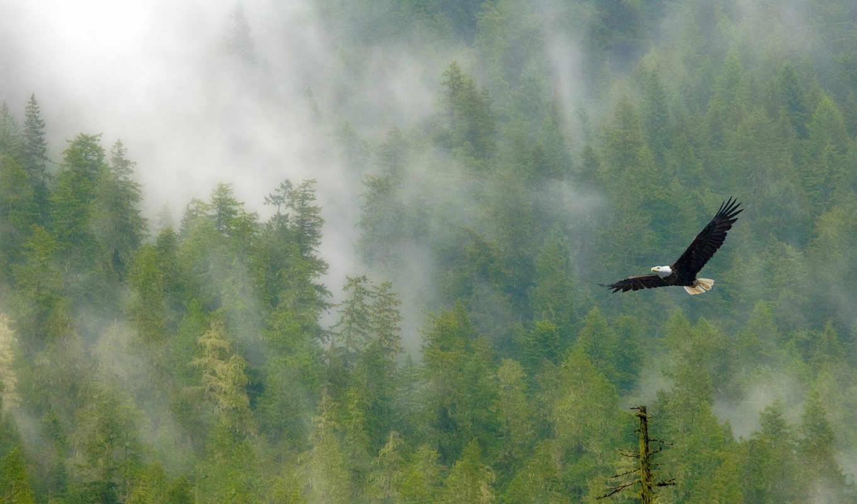 орленок, eagle, forest, rainier, foggy, mount, bald, взлети, солнца, park, выше, national, desktop,