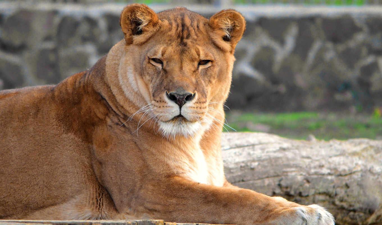 animals, lions, lion, природа, фон, baby,
