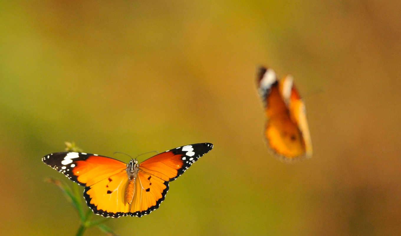 бабочки, летят, парят, полет,