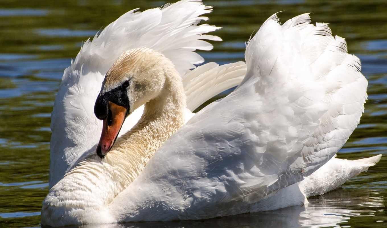пруд,белый,лебедь,крылья,