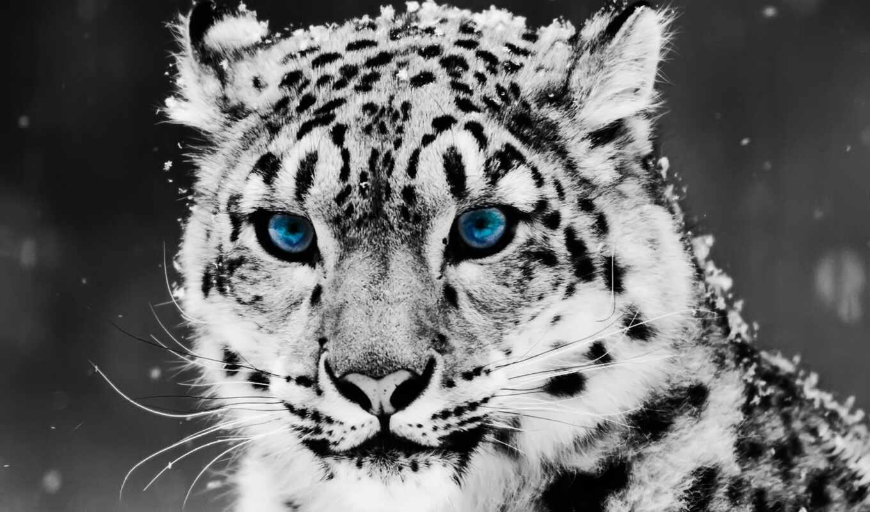 леопард, снег, глаз, blue, свет, голубые, свой,