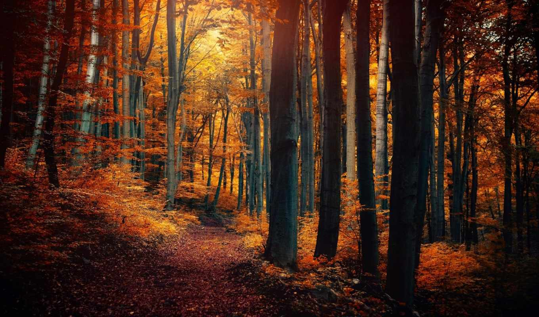 лес, деревья, листья, желтые, картинку, картинка, осень, тропинка,