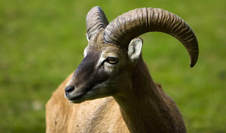 изгиб, рога, козел, черная, гора, животные, красивые, рогатый,