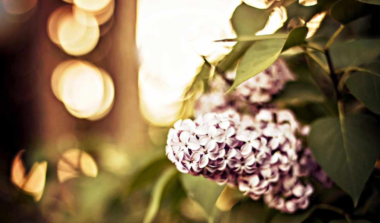 сиреневый, branch, макро, листва,