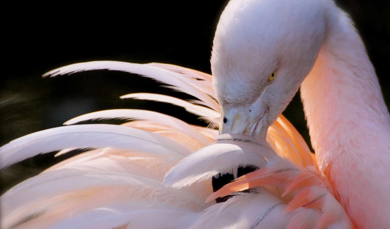фламинго, розовый, перья, разрешениях, разных, птица, черном, fone,