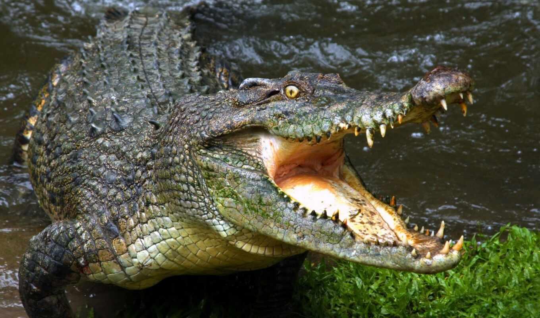 крокодил, animal, пасть