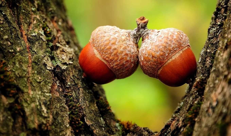 жолуди, дуб, картинку, мыши, правой, кнопкой, картинка, скачивания, ней, выберите, save, разрешением, nature, pack, best,
