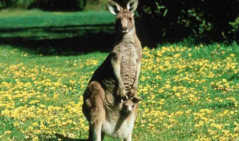 zhivotnye, животное, animals, кенгуру, vga, животных, wvga, сумчатое, telefon,