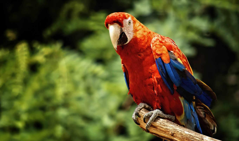 macaw, дек, птица,