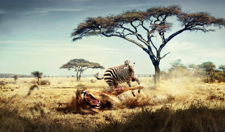 zhivotnye, хищные, zebra, lion, формате, discover, африка,