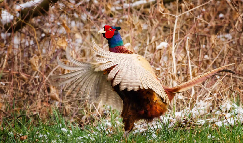 pheasant, resolution, free, reuun, качество,