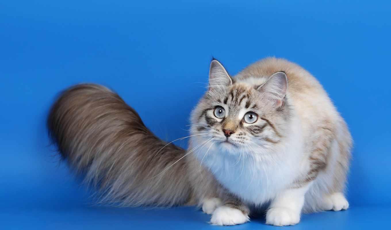 , кот, хвост, пушистый