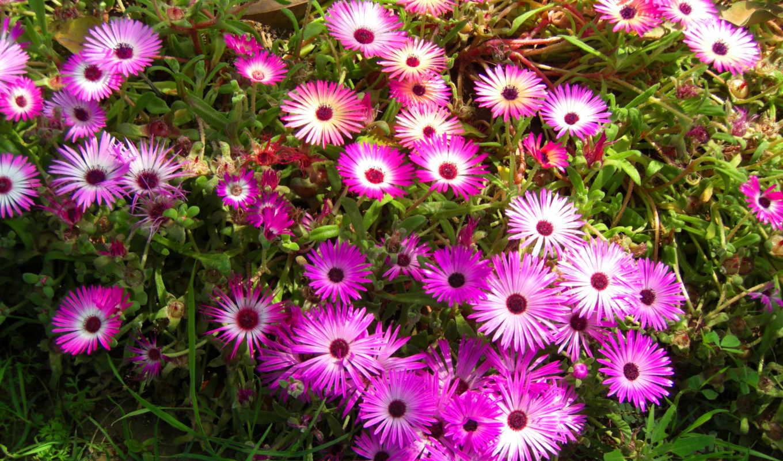 цветы, много, мезембриантемум, розы, розовый, ромашки, доротеантус,