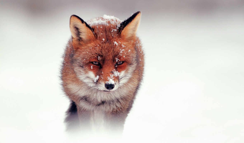 фокс, снег, winter, лисы,