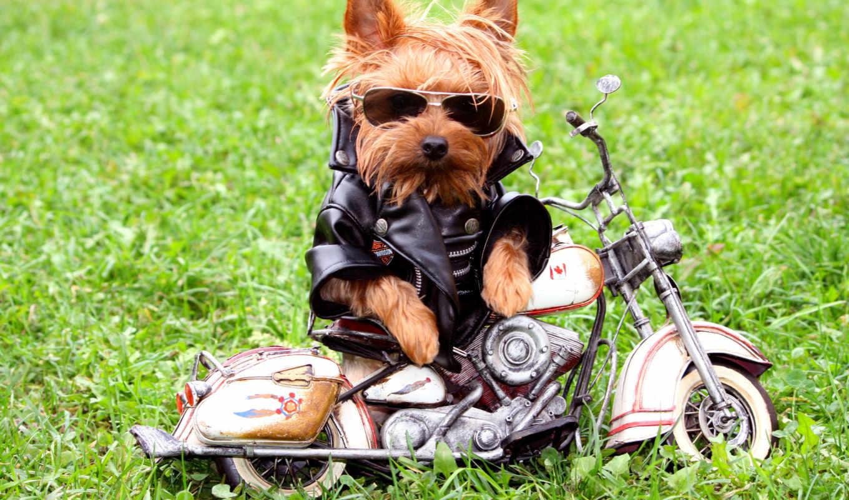 собаки, кофта, очки, собака, трава, йоркширского,