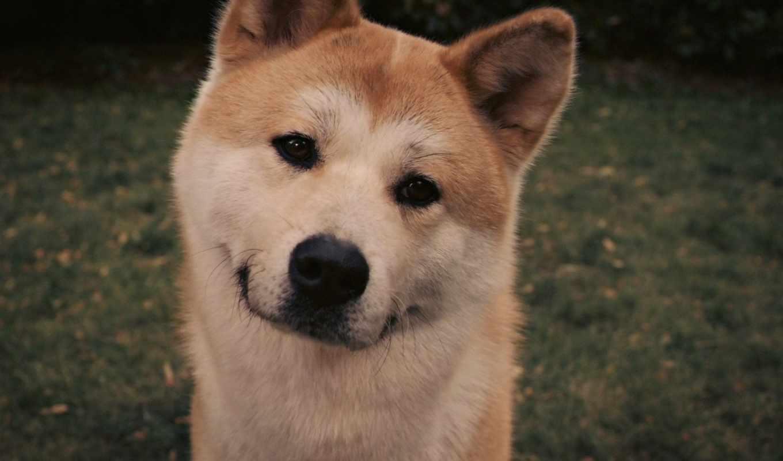 собака, хатико, друг, акита,