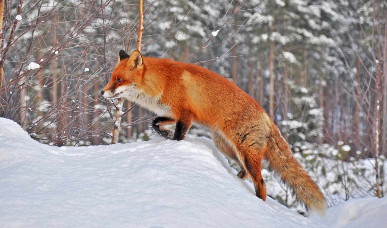 фокс, zhivotnye, лисы, фоны, лесу, liveinternet, часть, фотографий, уже, обыкновенная,