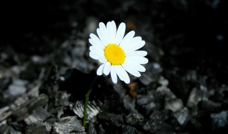 ромашки, цветы, desktop, страница, букеты, фото,