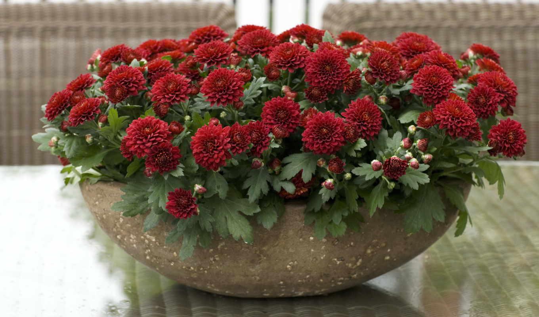 хризантемы, цветы, red, букеты,