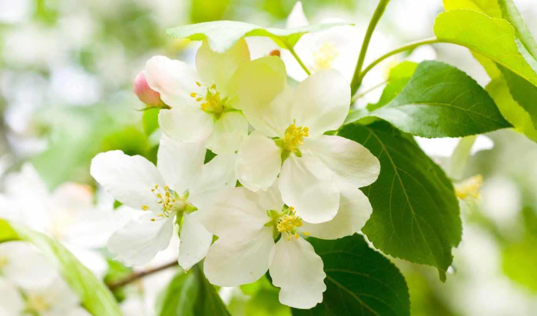 цветы, белые, лепестки, branch, цветение, cherry, весна, листья,