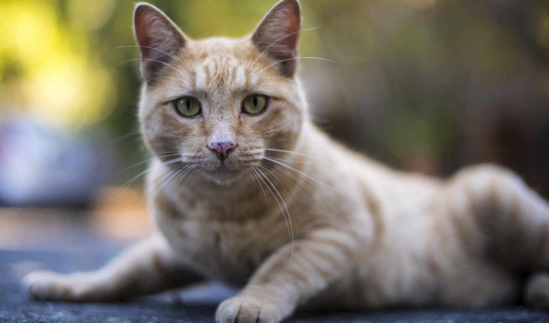 кот, ложь, tabby, смотреть, watch, mobile,