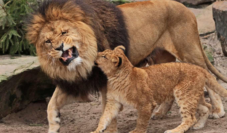 lion, lions, cats, рык, биг, cubs, animals, изображение,