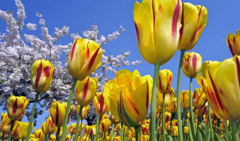 тюльпаны, цветы, желтые, дерево,