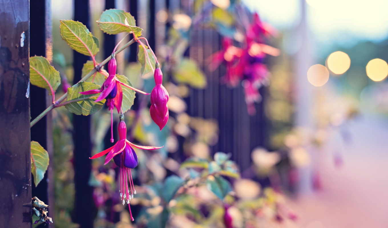 макро, цветы, улица, забор,
