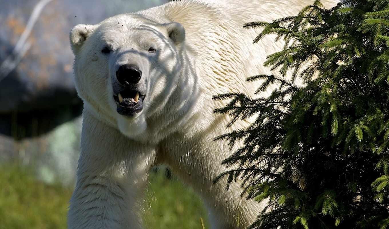 медведь, white, животные, большой,