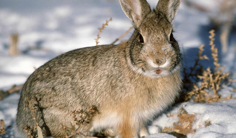 заяц, зайцы, кролик, картинку, картинка, wallpaper, без, цвет, снег, изображение, области, шубка, серая, дикий, зима, серый, animal, охоты, воронежской, дата, объект, русаки, традиционный, исчезает, и