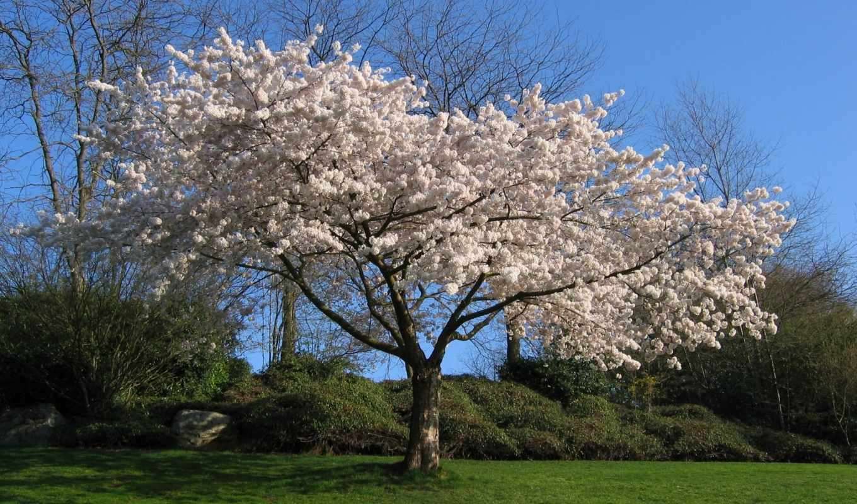 cherry, дерево, Сакура, white,
