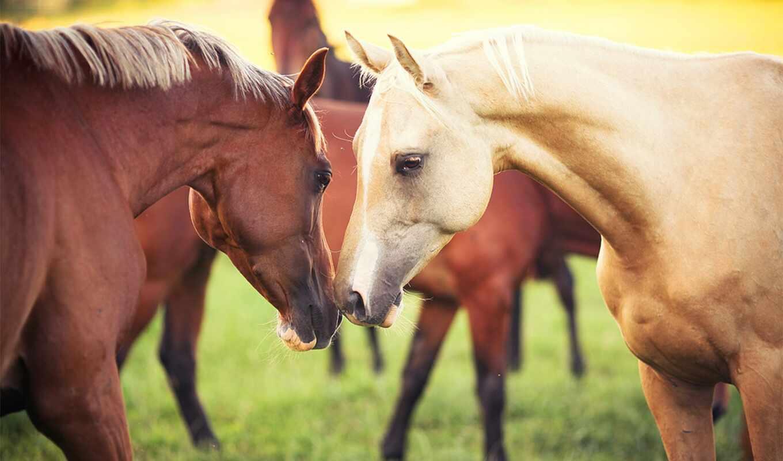 лошади, zhivotnye, кони, para, telefon,