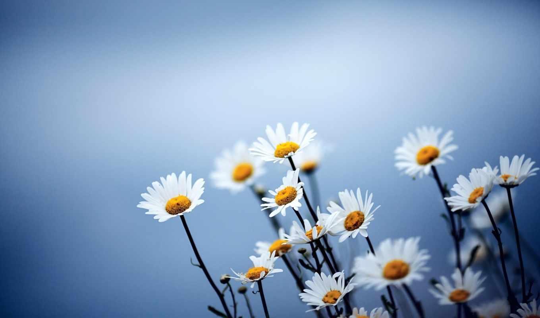 цветы, ромашки, красивые,