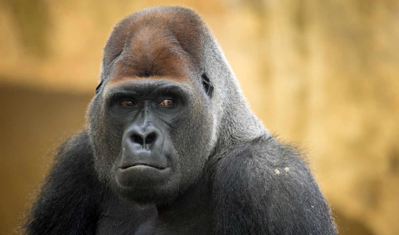 Картинки обезьяны горилы