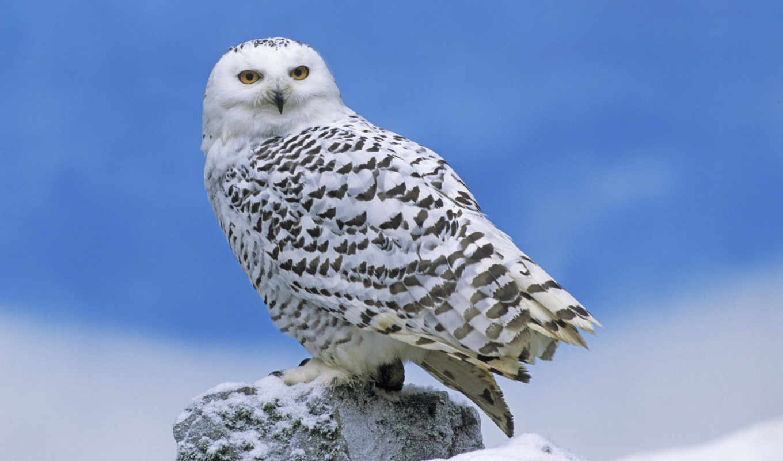 flora, fauna, winter, хибины, khibiny, хибинских, тундр, красивая, птиц, owls,