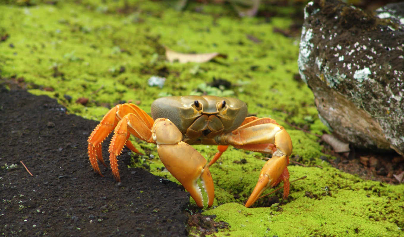 you, видов, land, crab, ascension, crabs, johngarthia, lagostoma,