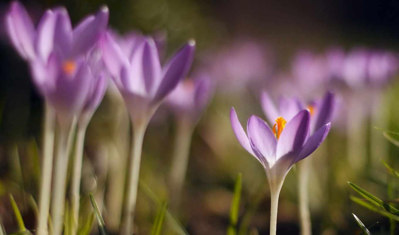 крокус, цветы