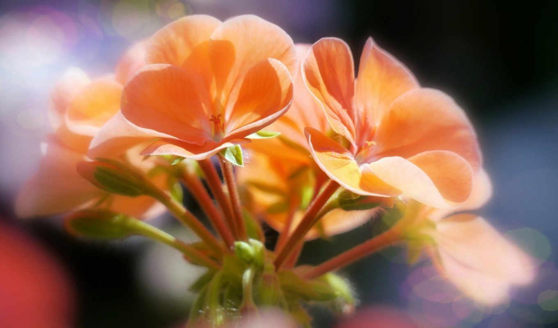 количество, широкоформатные, цветы,