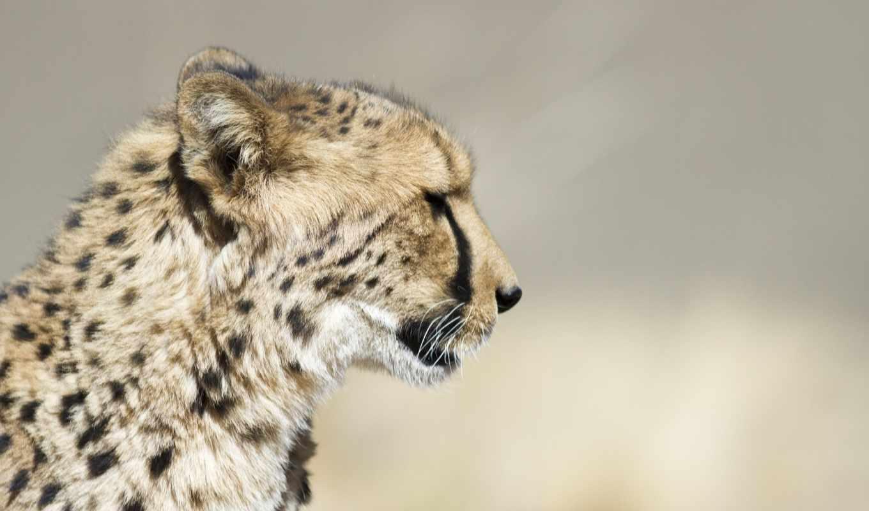 кошка, морда, дикая, gepard, хищник, категории, янв, telefon,