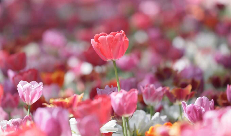 gullar, цветы, тюльпан, розовый, gentle, весна, гуль, красивый