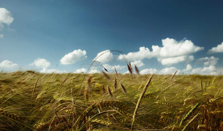 небо, pole, oblaka, колосья,