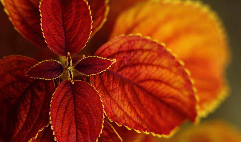 листья, bush, макро, красными, осень, растение, листьями,