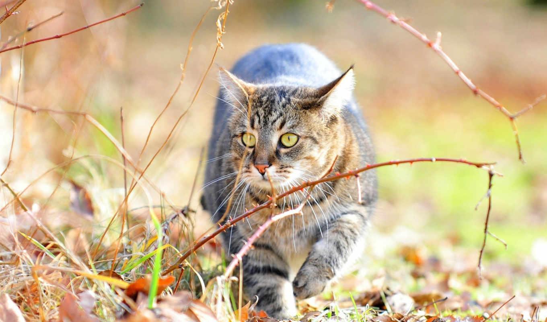 кот, тигр, тигры, кошки, листва, разных, дикие, zhivotnye, прогулке,