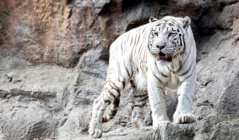 грозный, тигры, красавец, животные, тигр, белый,