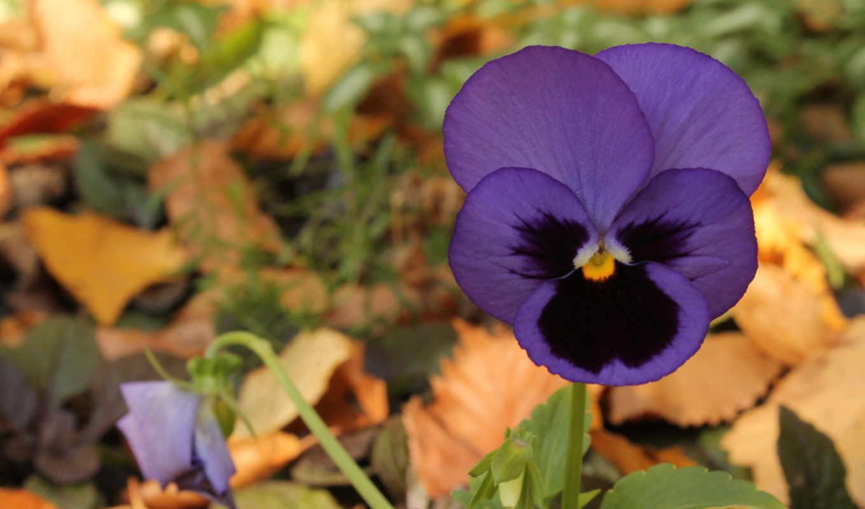 фиолетовый, цветы, осень,