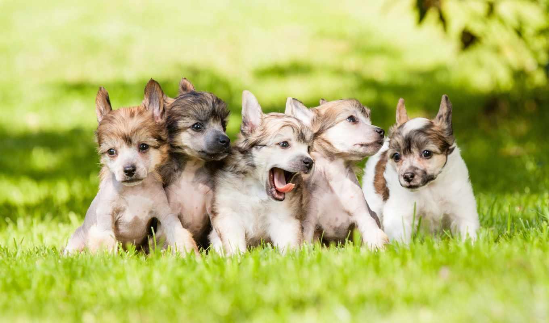 красивые, собаки, трава, щенки, plus, только, дек,