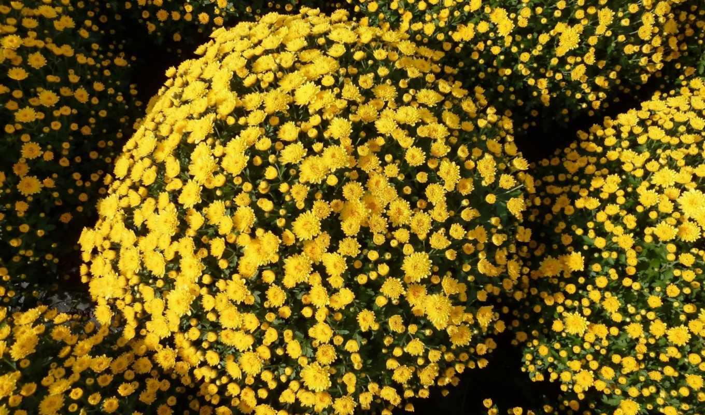 pulpit, chryzantema, цветы, хризантемы, tapety, tapet, darmowe, które,