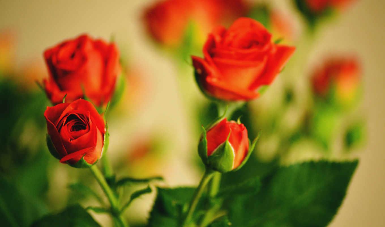 розы, cvety, букет, красные,